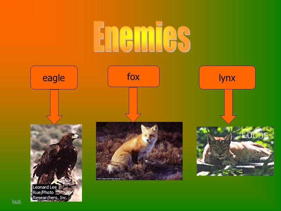 fox lynxeagle back