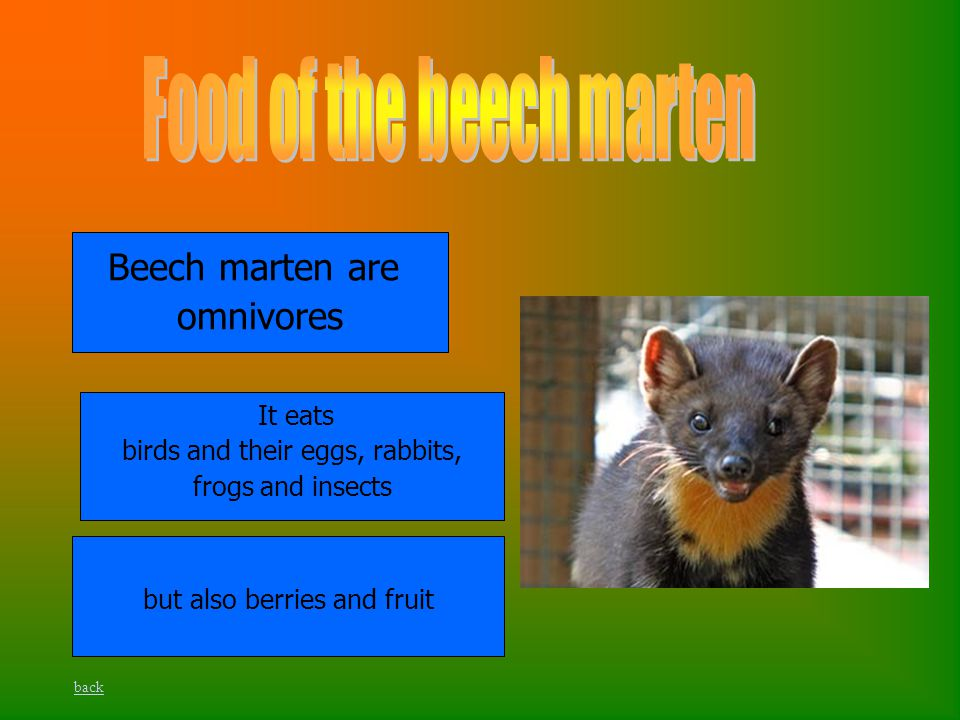 Beech marten are omnivores It eats birds and their eggs, rabbits, frogs and insects but also berries and fruit back