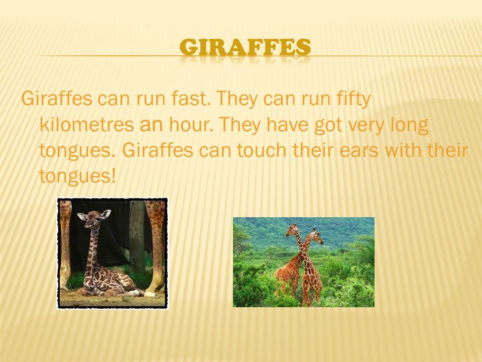 Giraffes can run fast. They can run fifty kilometres an hour.