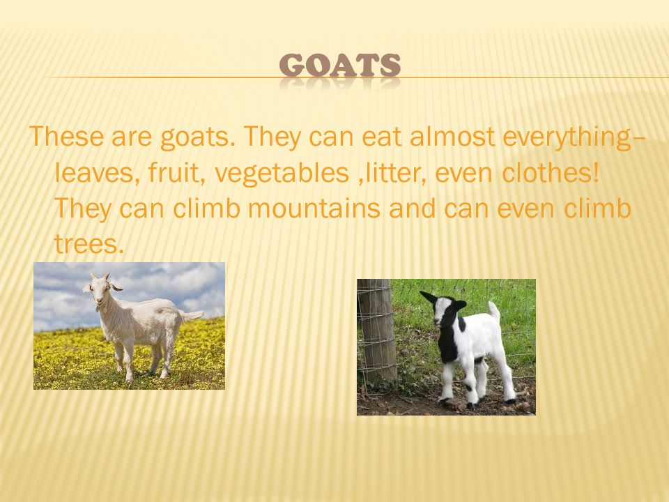 These are goats. They can eat almost everything– leaves, fruit, vegetables,litter, even clothes! They can climb mountains and can even climb trees.