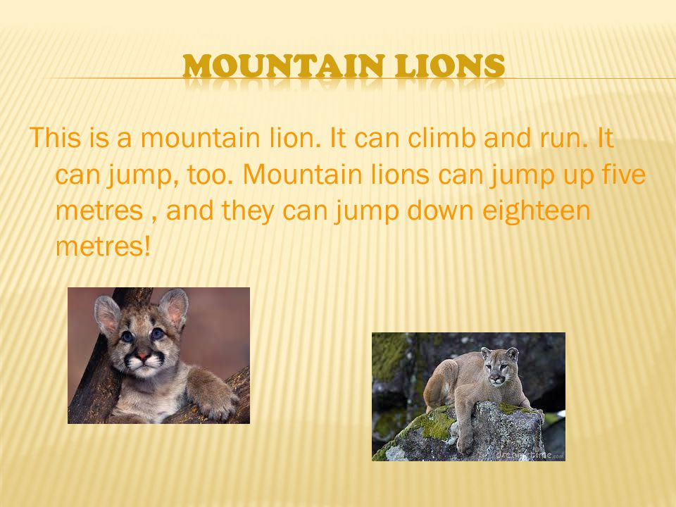 This is a mountain lion. It can climb and run. It can jump, too.