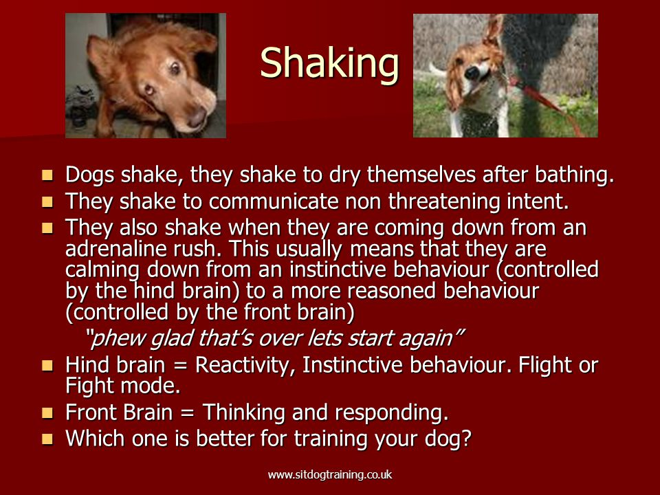www.sitdogtraining.co.uk Shaking Dogs shake, they shake to dry themselves after bathing.