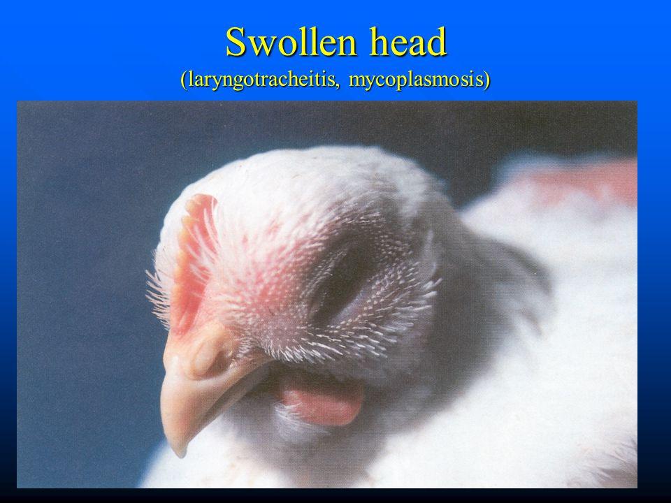 Swollen head (laryngotracheitis, mycoplasmosis)