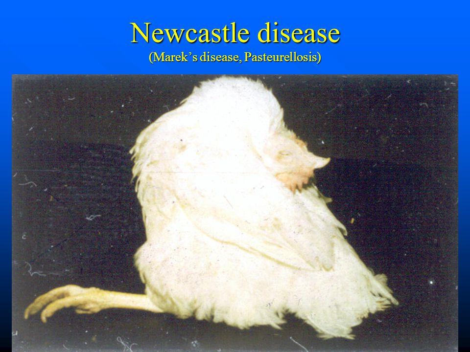Newcastle disease (Marek's disease, Pasteurellosis)