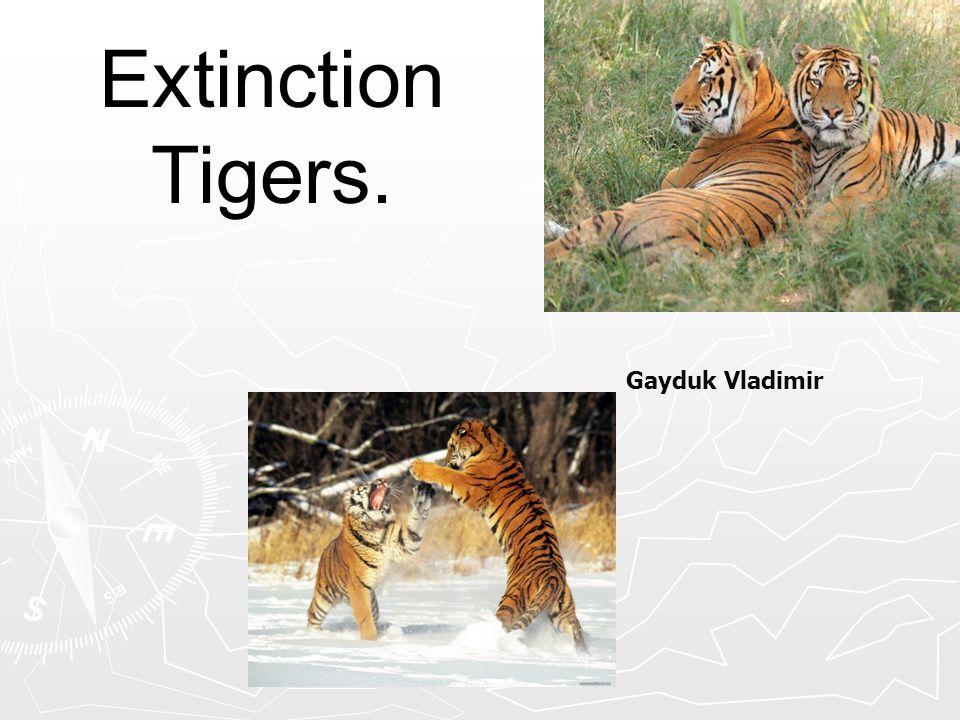Extinction Tigers. Gayduk Vladimir