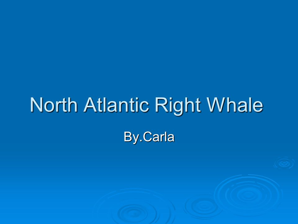 North Atlantic Right Whale By.Carla