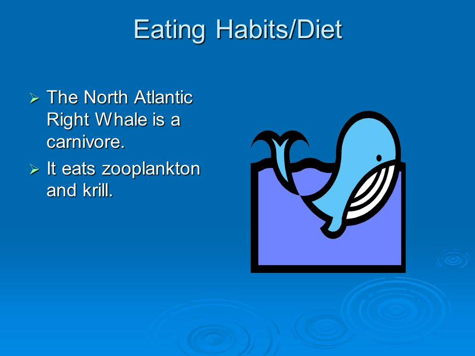 Eating Habits/Diet  The North Atlantic Right Whale is a carnivore.
