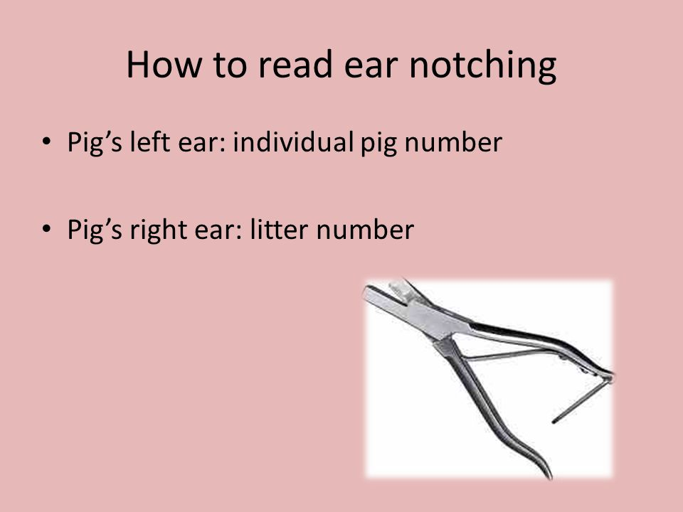 How to read ear notching Pig's left ear: individual pig number Pig's right ear: litter number