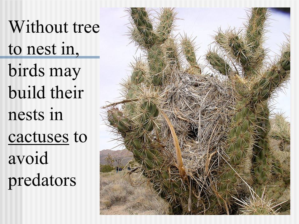 Without trees to nest in, birds may build their nests in cactuses to avoid predators