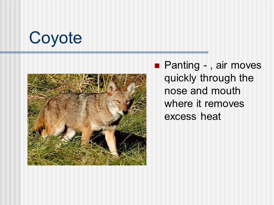 Coyote Panting -, air moves quickly through the nose and mouth where it removes excess heat