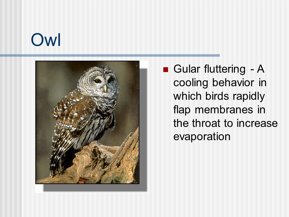 Owl Gular fluttering - A cooling behavior in which birds rapidly flap membranes in the throat to increase evaporation