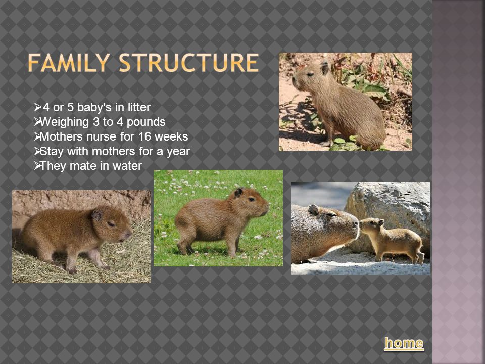  4 or 5 baby's in litter  Weighing 3 to 4 pounds  Mothers nurse for 16 weeks  Stay with mothers for a year  They mate in water