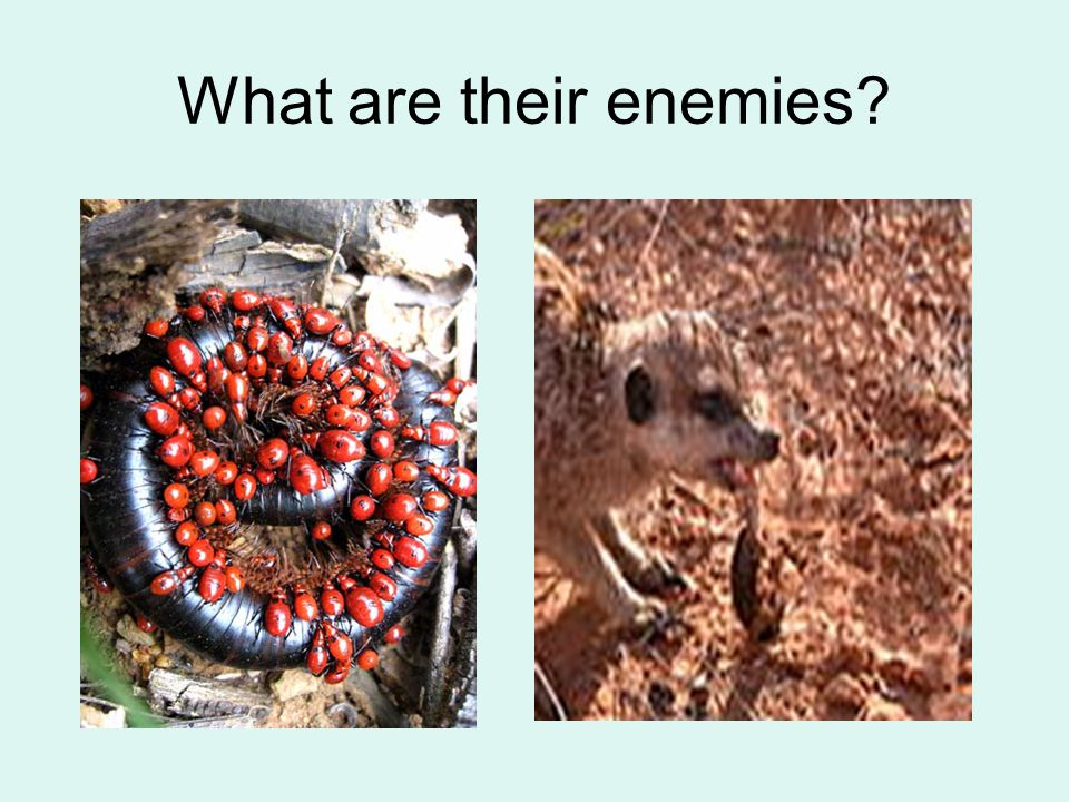 What are their enemies?