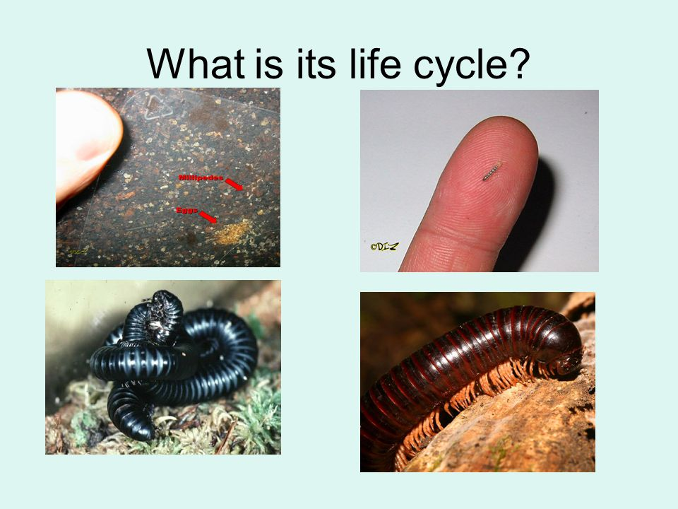 What is its life cycle?