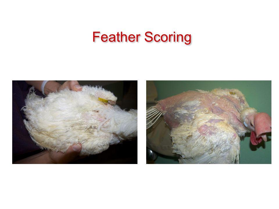 Feather Scoring