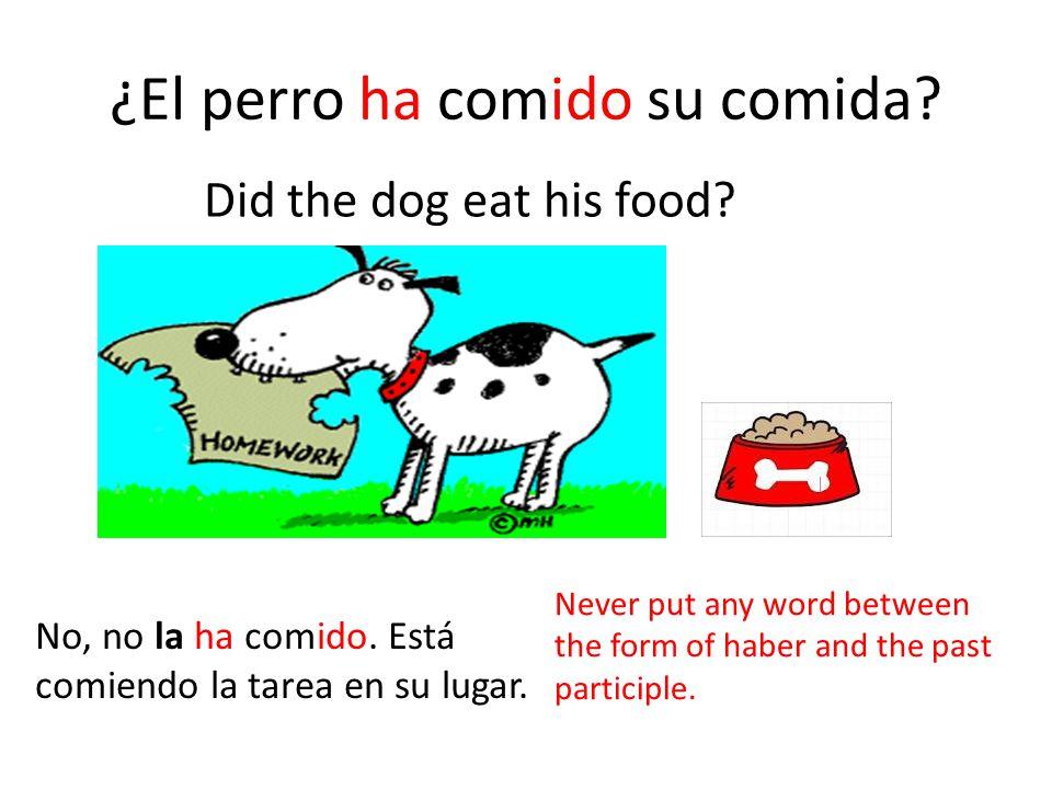 ¿El perro ha comido su comida? No, no la ha comido. Está comiendo la tarea en su lugar. Never put any word between the form of haber and the past part