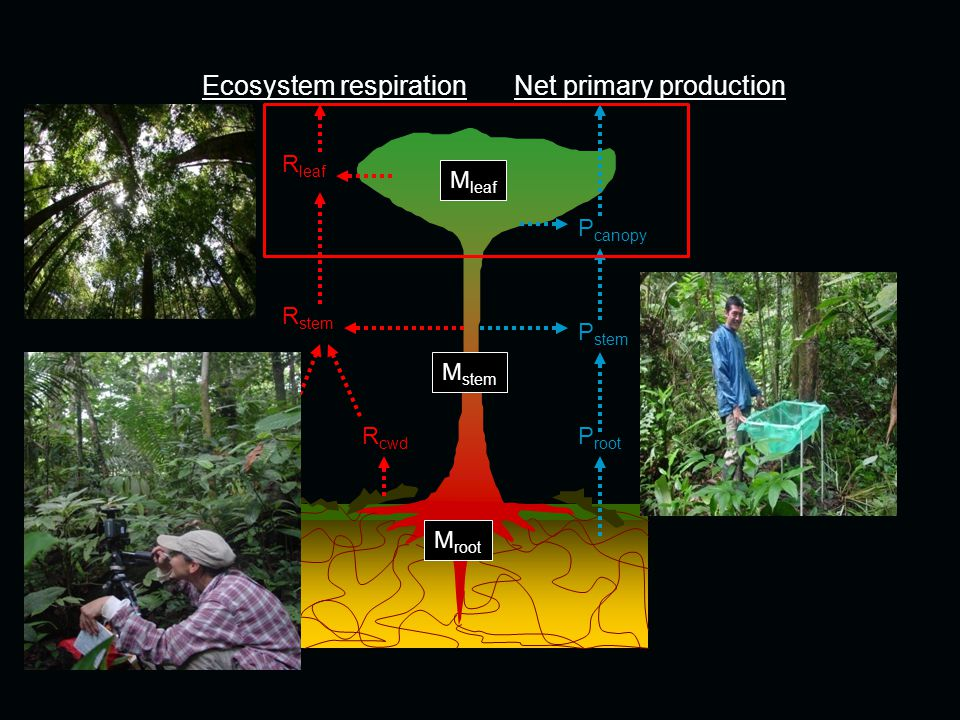Ecosystem respirationNet primary production R stem R leaf R soil P canopy P stem P root R cwd M leaf M root M stem