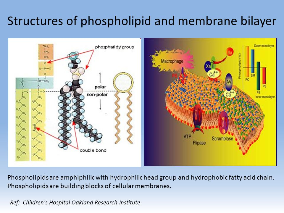 Structures of phospholipid and membrane bilayer Phospholipids are amphiphilic with hydrophilic head group and hydrophobic fatty acid chain.