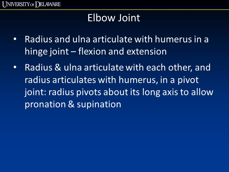 Elbow Joint Radius and ulna articulate with humerus in a hinge joint – flexion and extension Radius & ulna articulate with each other, and radius arti