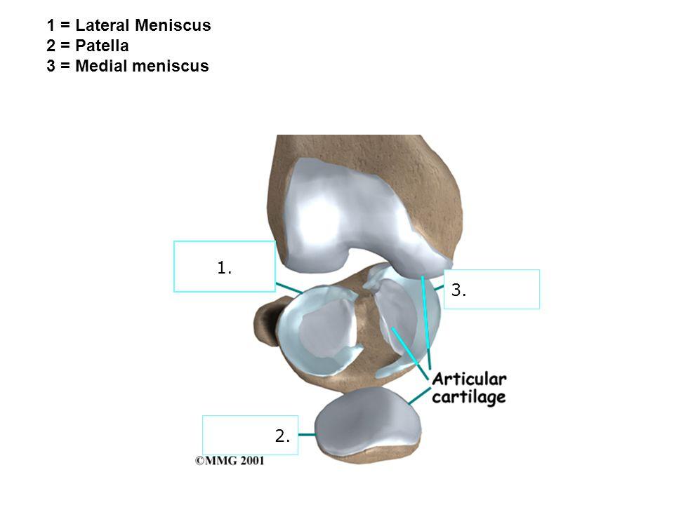 2. 3. 1. 1 = Lateral Meniscus 2 = Patella 3 = Medial meniscus