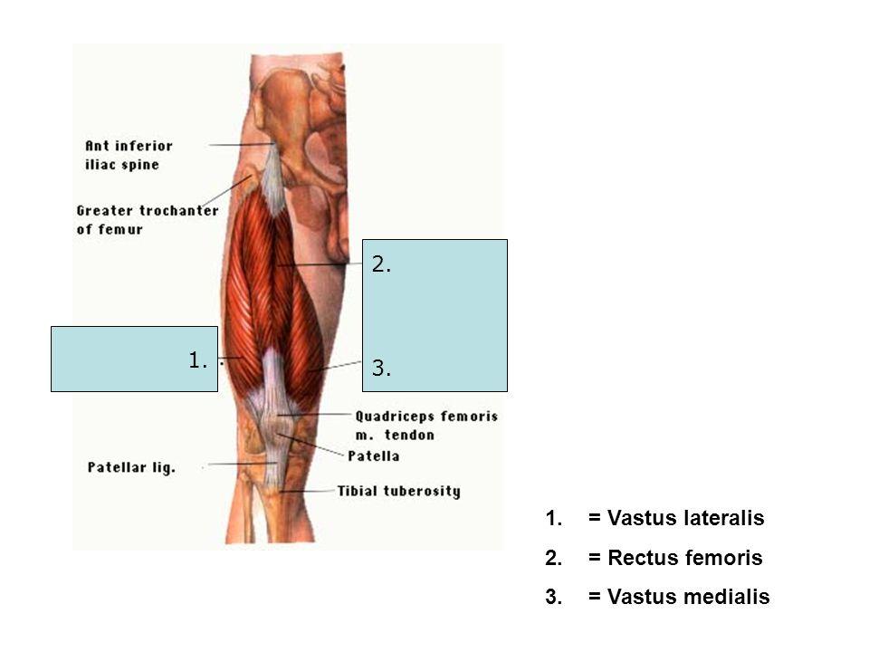 1. 2. 3. 1.= Vastus lateralis 2.= Rectus femoris 3.= Vastus medialis