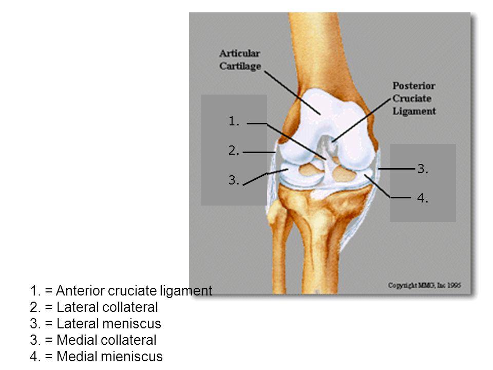 1. 2. 3. 4. 1. = Anterior cruciate ligament 2.