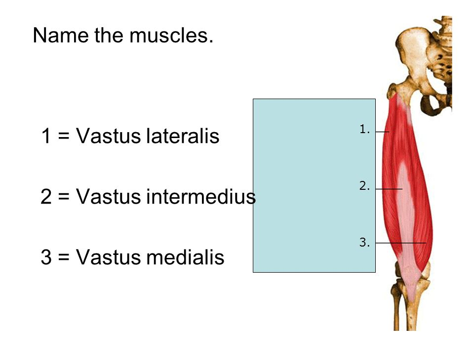 Name the muscles. 1. 2. 3. 1 = Vastus lateralis 2 = Vastus intermedius 3 = Vastus medialis