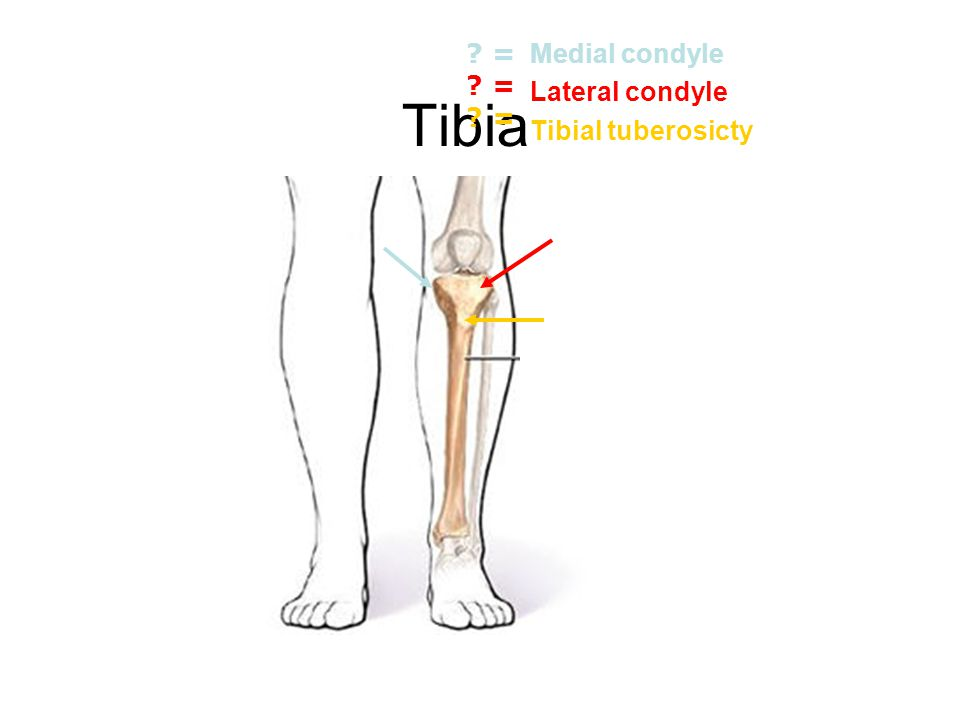 Tibia Medial condyle Lateral condyle Tibial tuberosicty =