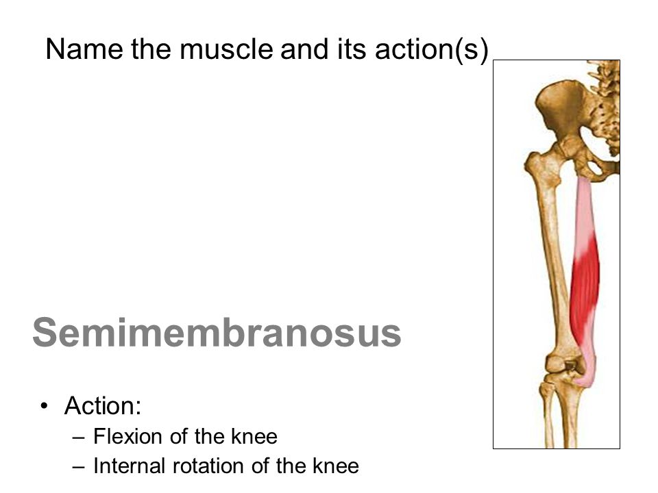 Semimembranosus Action: –Flexion of the knee –Internal rotation of the knee Name the muscle and its action(s)