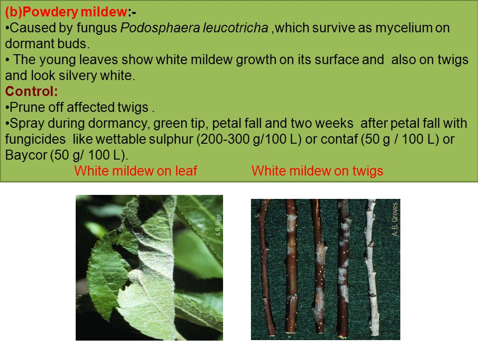 ( c) Canker:- Many fungi have been reported to be involved in canker complex.