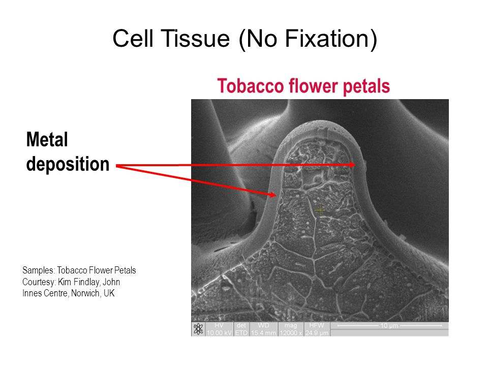 Cell Tissue (No Fixation) Samples: Tobacco Flower Petals Courtesy: Kim Findlay, John Innes Centre, Norwich, UK Tobacco flower petals Metal deposition