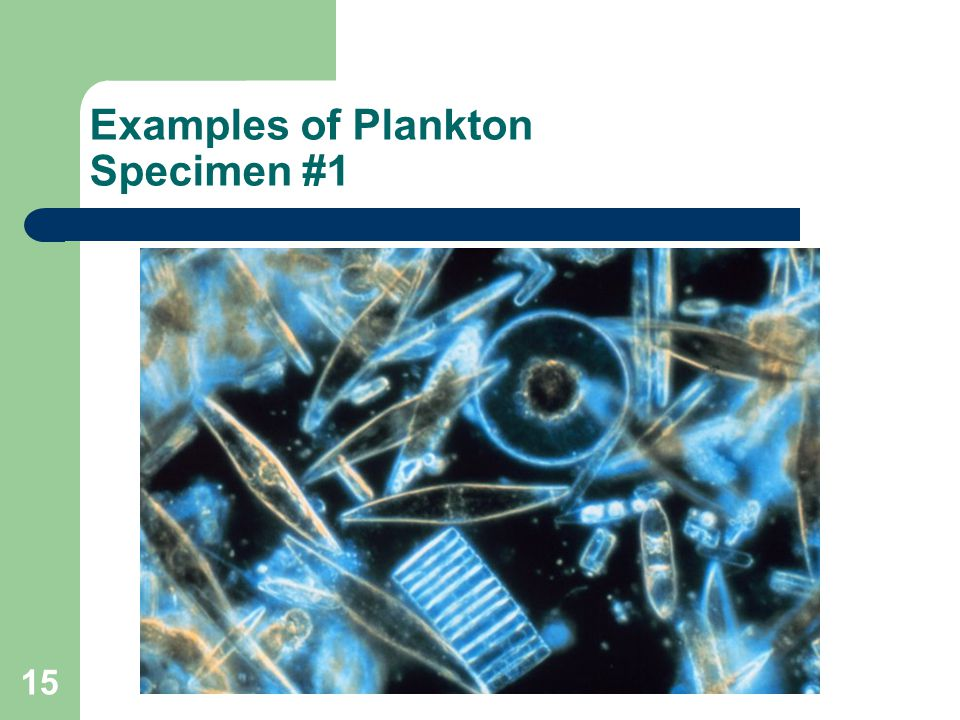 Examples of Plankton Specimen #1 15