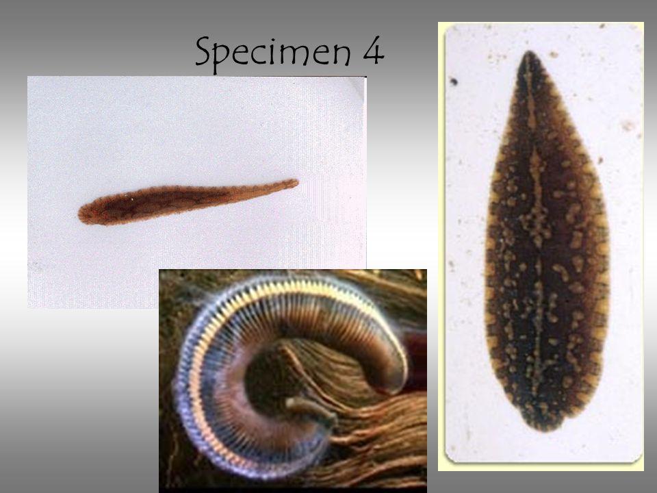 Specimen 4