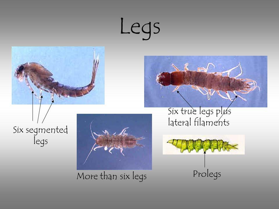 Six true legs plus lateral filaments Six segmented legs More than six legs Prolegs Legs