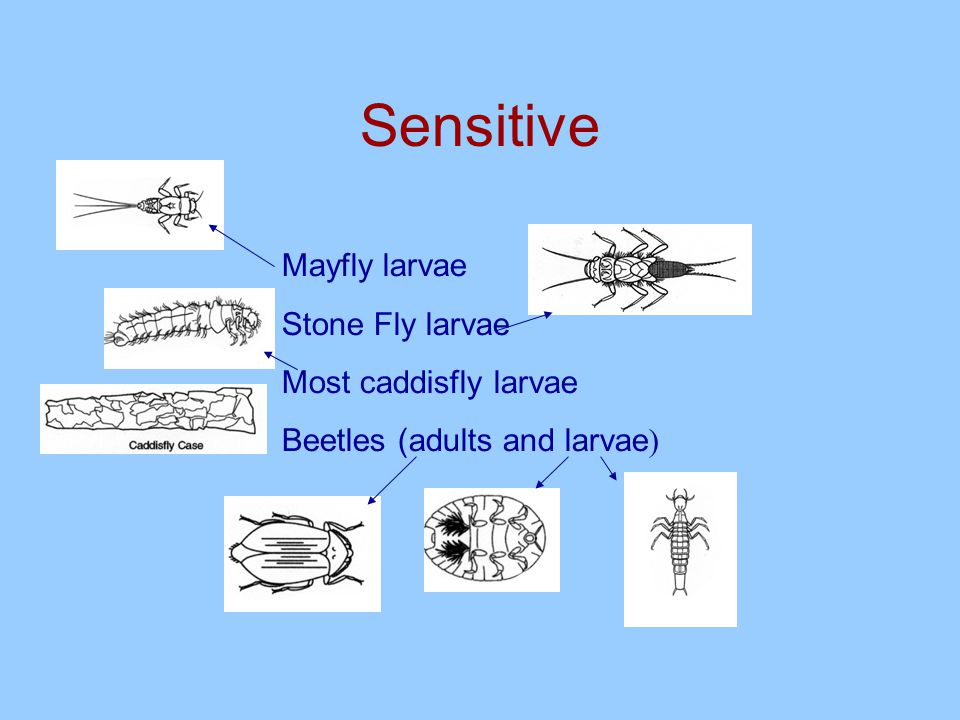 Benthic Macroinvertebrates can be classified according to their sensitivity to pollutants.