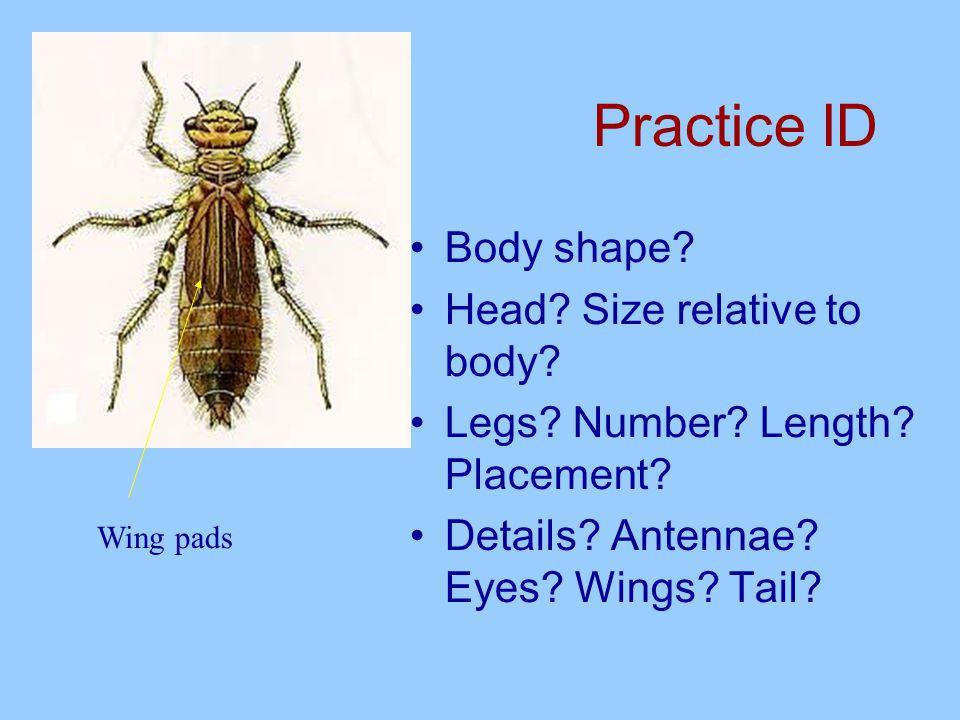 Details to notice: gills Abdominal gills Abdominal filamentous gills Internal gills