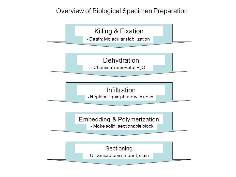 Killing & Fixation - Death; Molecular stabilization Dehydration Infiltration Embedding & Polymerization Sectioning - Chemical removal of H 2 O - Repla
