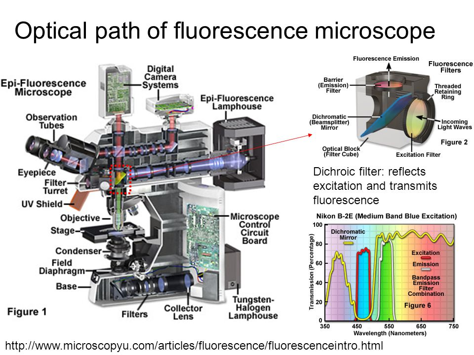 Optical path of fluorescence microscope http://www.microscopyu.com/articles/fluorescence/fluorescenceintro.html Dichroic filter: reflects excitation and transmits fluorescence