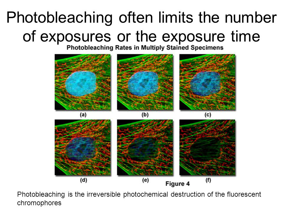 Photobleaching often limits the number of exposures or the exposure time Photobleaching is the irreversible photochemical destruction of the fluorescent chromophores