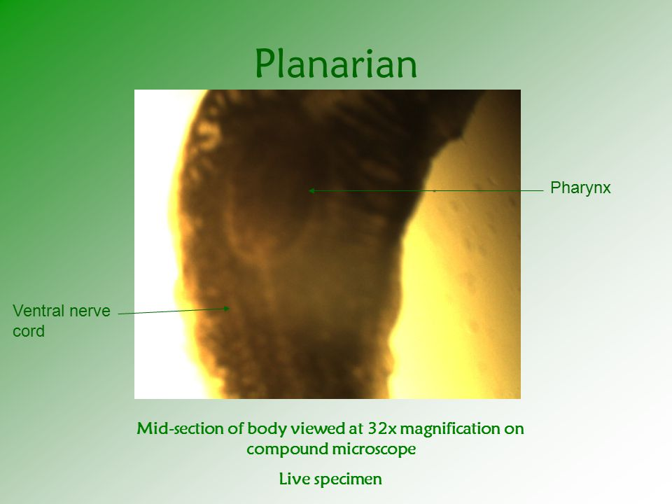 Planarian Ventral nerve cord Pharynx Mid-section of body viewed at 32x magnification on compound microscope Live specimen