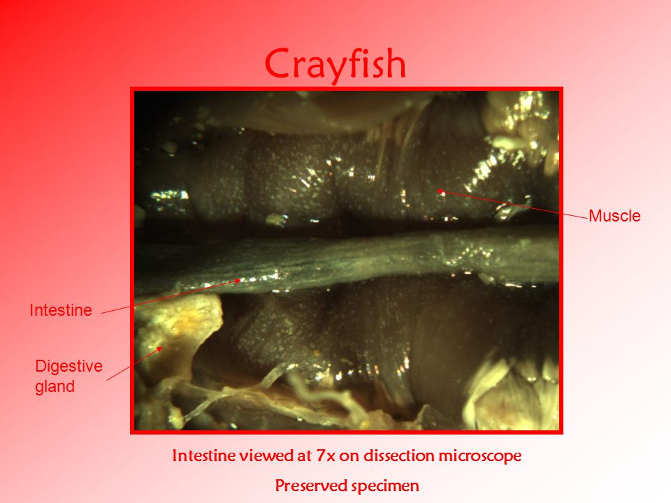 Crayfish Intestine viewed at 7x on dissection microscope Preserved specimen Intestine Muscle Digestive gland