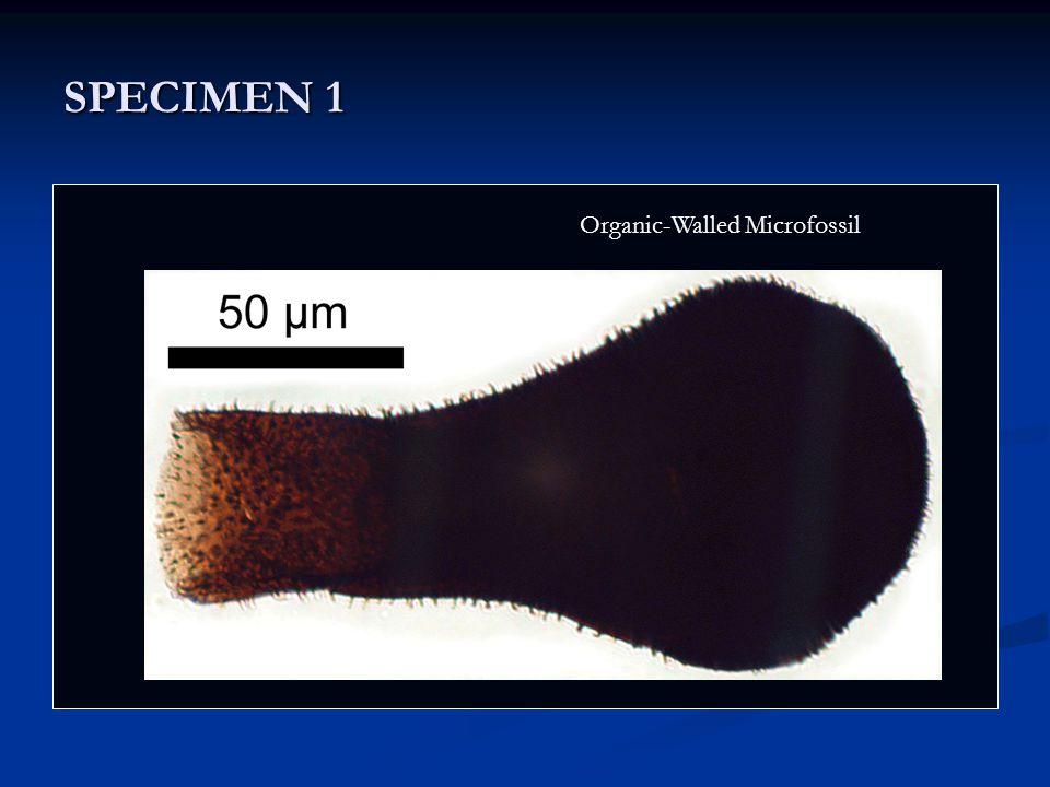 SPECIMEN 1 Nostoc Organic-Walled Microfossil