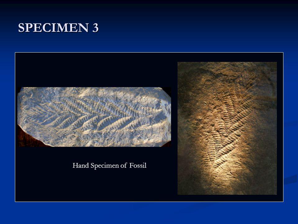 SPECIMEN 3 Nostoc Hand Specimen of Fossil