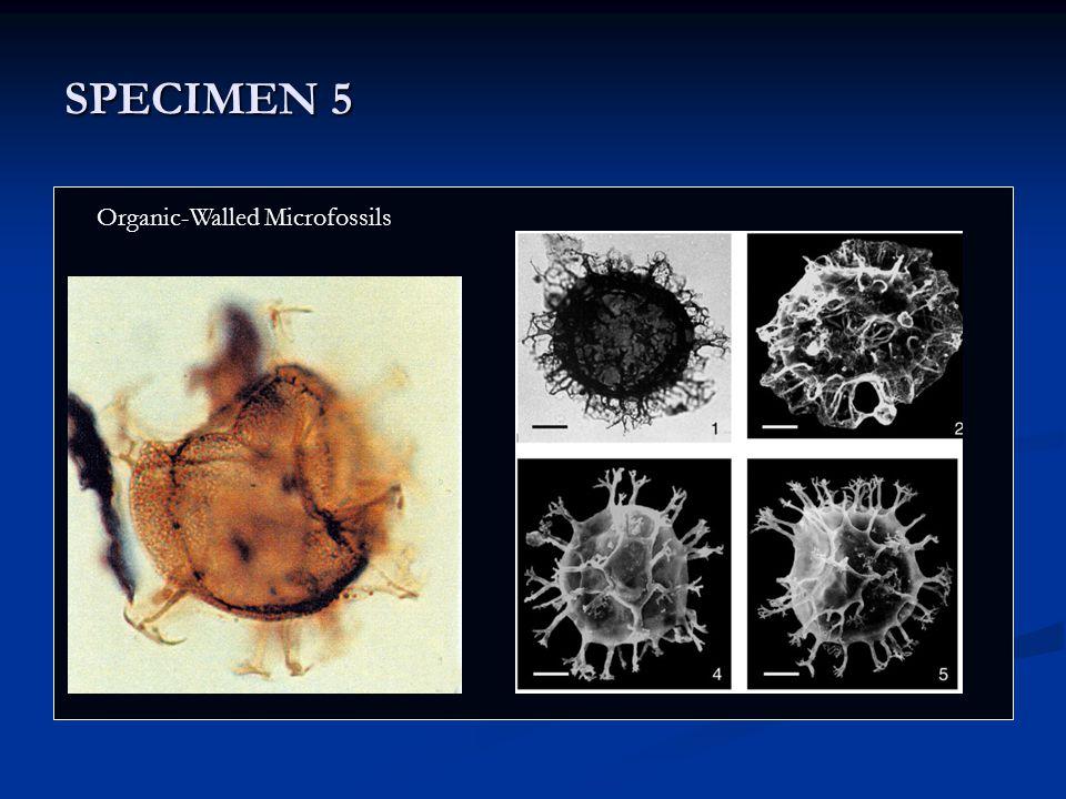 SPECIMEN 5 Nostoc Organic-Walled Microfossils
