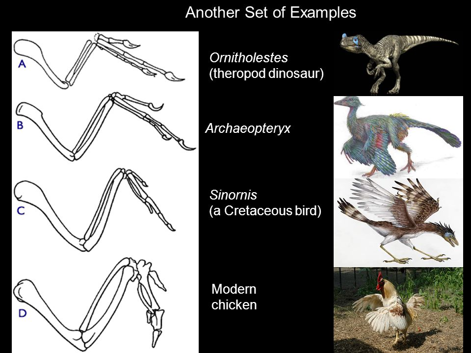 Ornitholestes (theropod dinosaur) Archaeopteryx Sinornis (a Cretaceous bird) Modern chicken Another Set of Examples