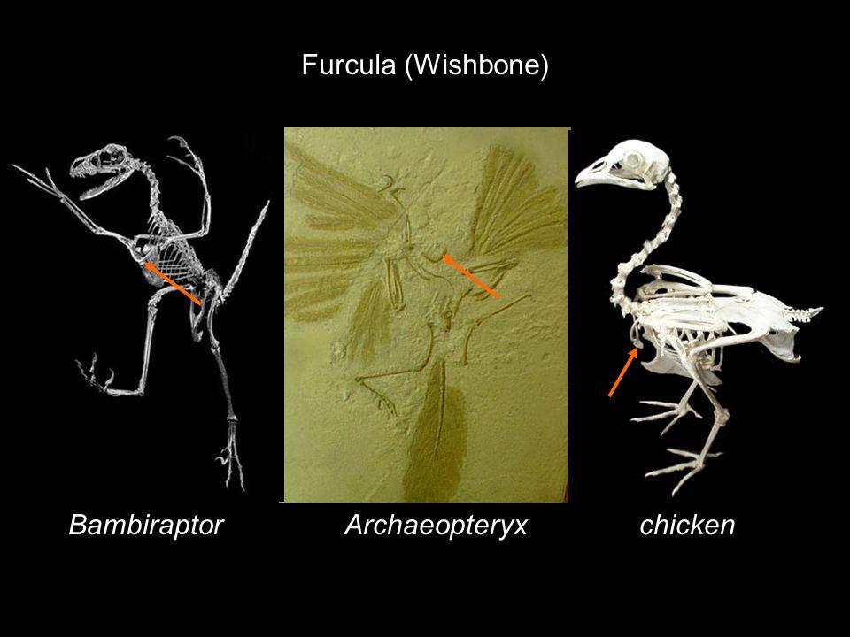 Furcula (Wishbone) ArchaeopteryxBambiraptorchicken