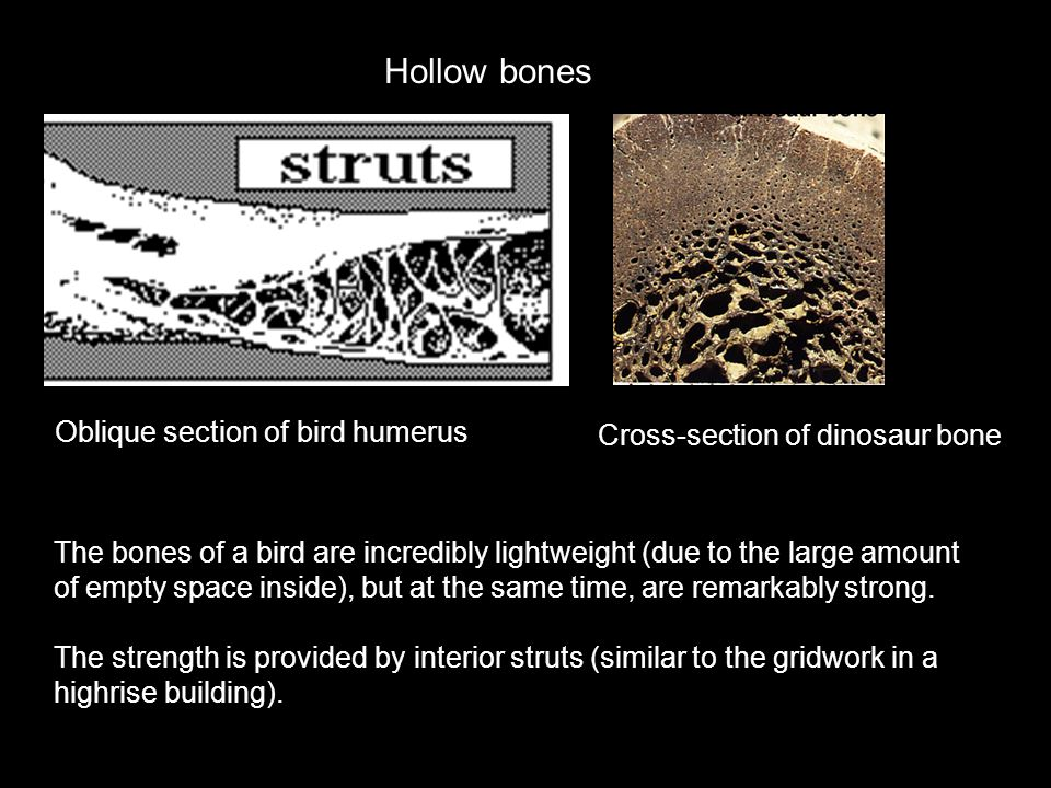 Hollow bones Oblique section of bird humerus The bones of a bird are incredibly lightweight (due to the large amount of empty space inside), but at th