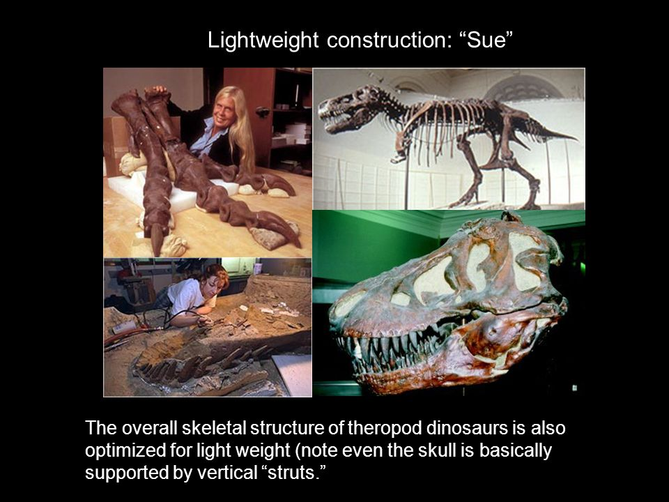 """Lightweight construction: """"Sue"""" The overall skeletal structure of theropod dinosaurs is also optimized for light weight (note even the skull is basica"""