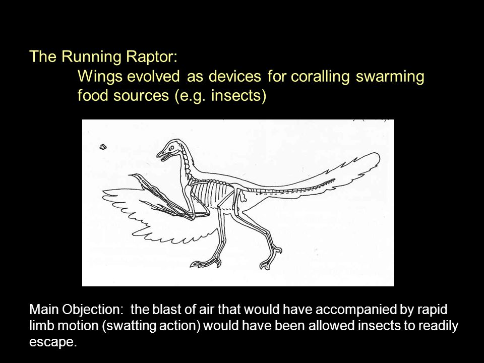 The Running Raptor: Wings evolved as devices for coralling swarming food sources (e.g. insects) Main Objection: the blast of air that would have accom