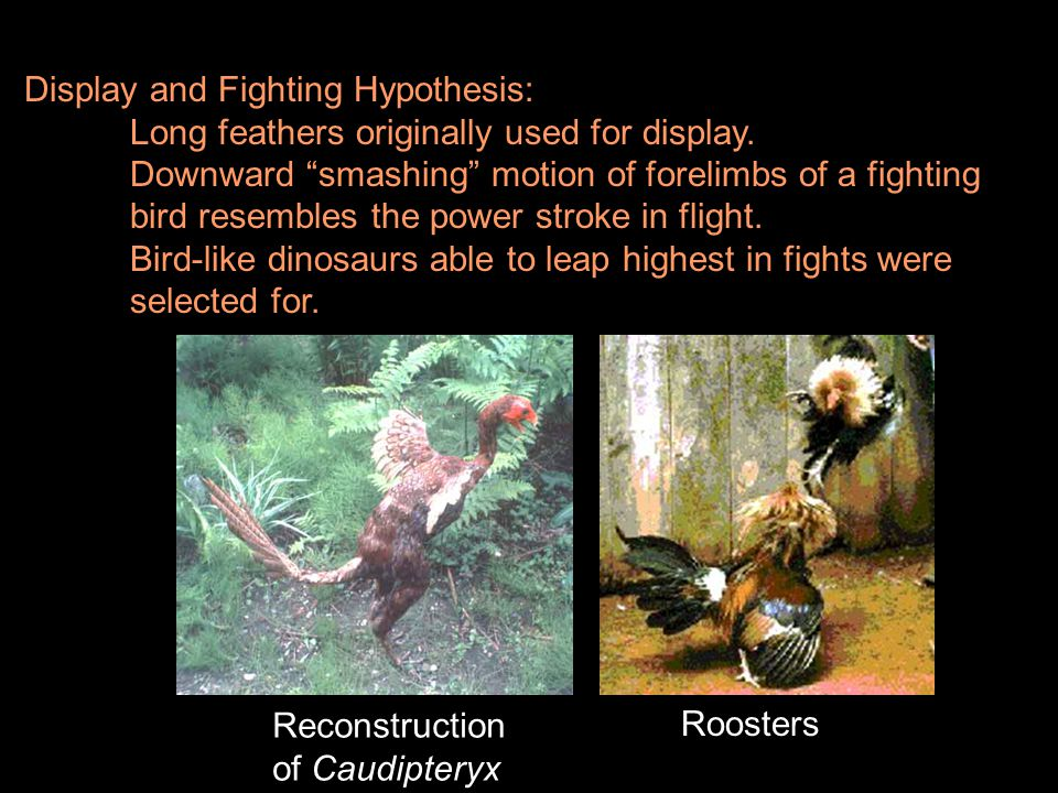 """Display and Fighting Hypothesis: Long feathers originally used for display. Downward """"smashing"""" motion of forelimbs of a fighting bird resembles the p"""